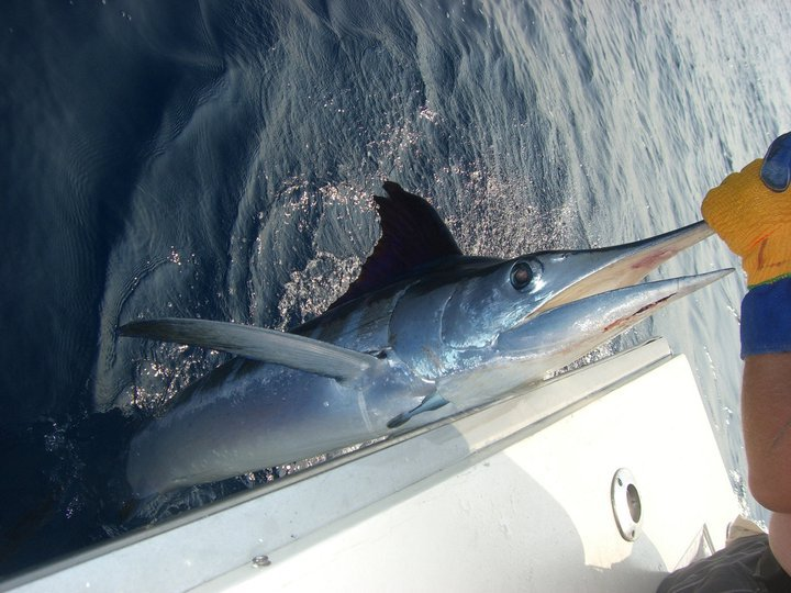 Blue-Water-Connection-Panama-City-Beach-Charter-Fishing-Marlin.jpg