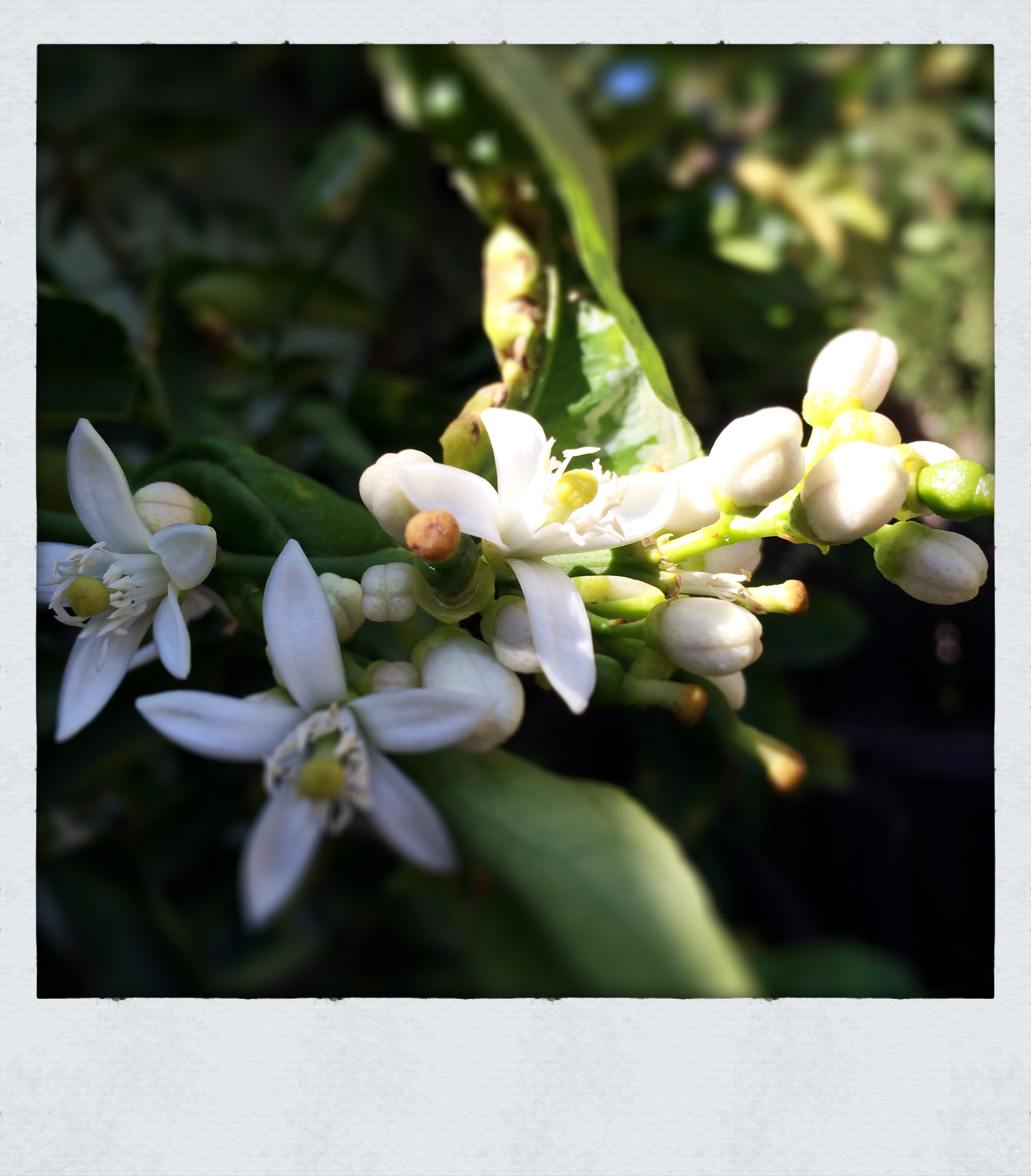... Wandered around my garden staring at everything in bloom due to the warm spell we'd been having. These are lime blossoms.