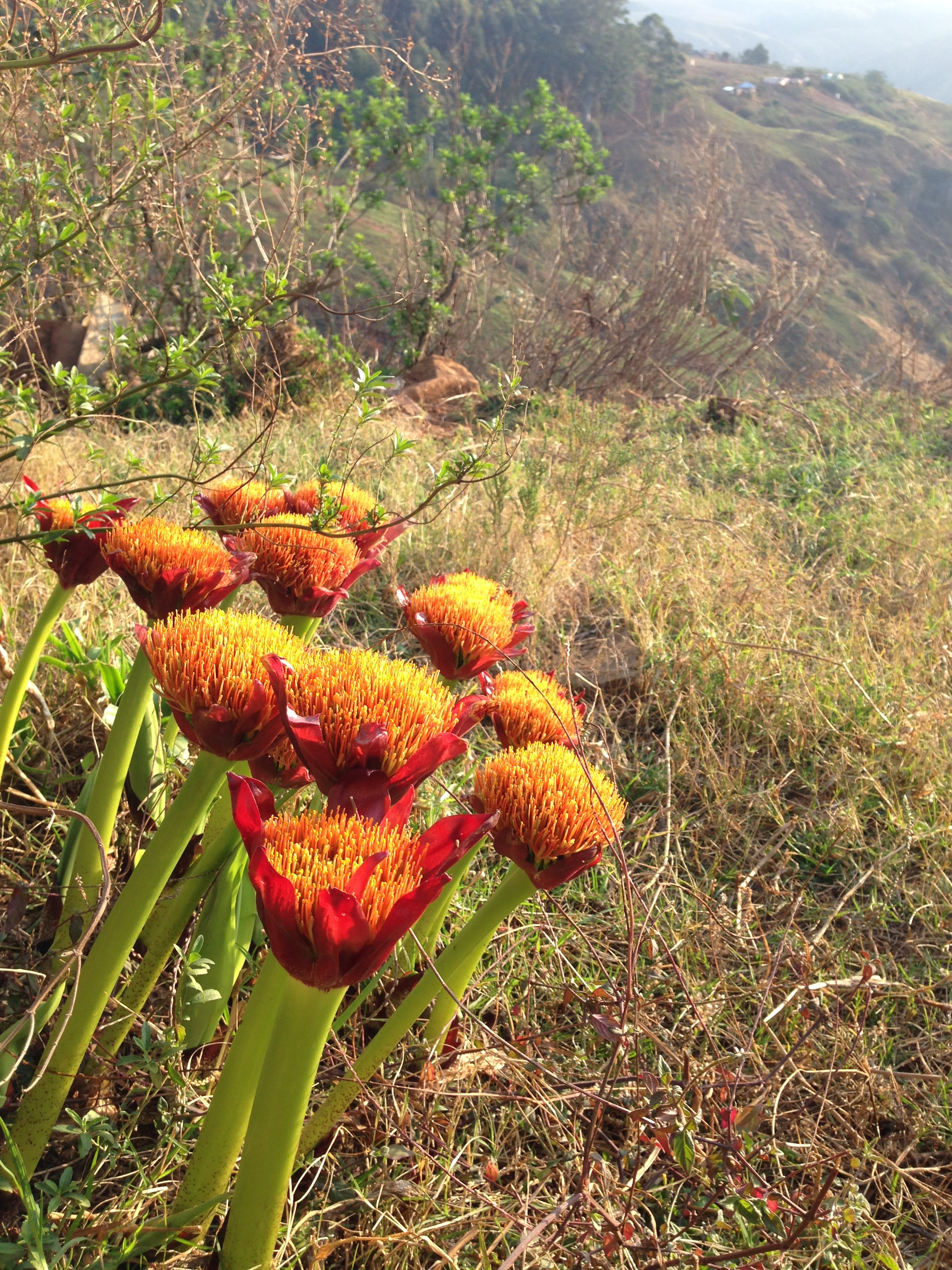 Blooming -  Taken September 2017 in KZN Province, South Africa