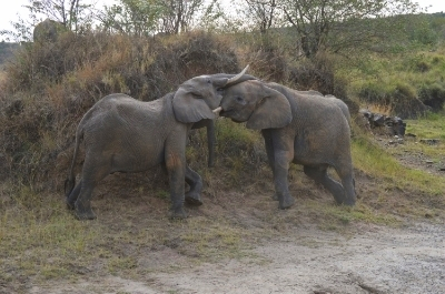 Elephant teenagers playing
