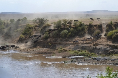 Wildebeest crossing the Mara River, great migration, Kenya