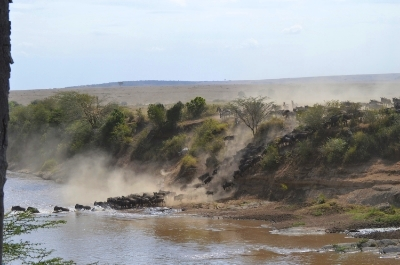 Wildebeest crossing the Mara River, the great migration, Kenya
