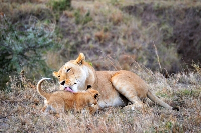 Lioness and cub, bath time