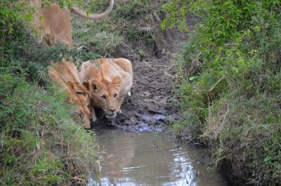 Pride of lions drinking at the Mara River, Kenya