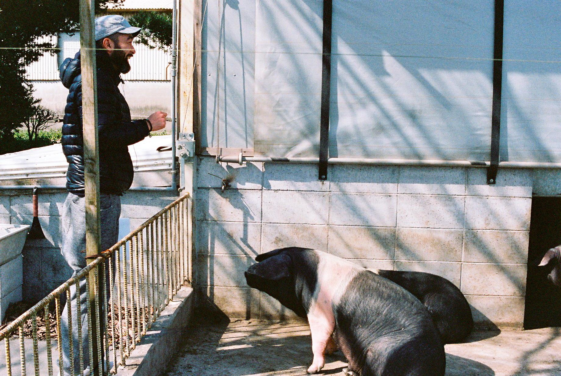 びっくりする豚、びっくりする料理人