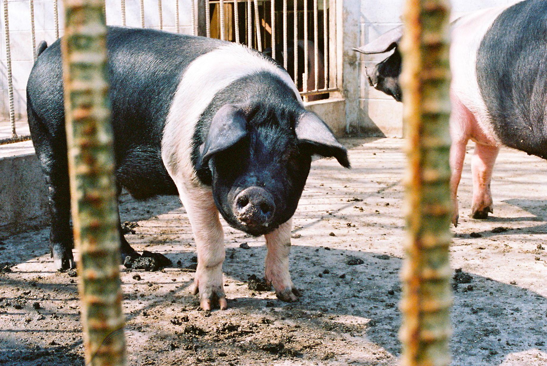 アメリカで保存のため飼育されていた、サドルバックを5  頭輸入して育てているそう。