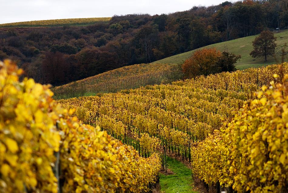 Vineyards in Jurançon  -  image: AMC Photography