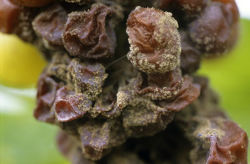 The Fungus (Botrytis Cinerea) Used In Grapes From Sauternes  -  image www.chateaucoutet.com
