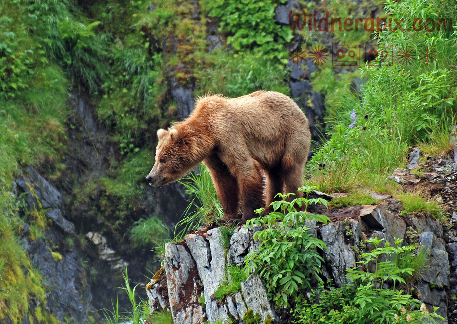 Kodiak Grizzly on Kodiak Island (AE5-065)