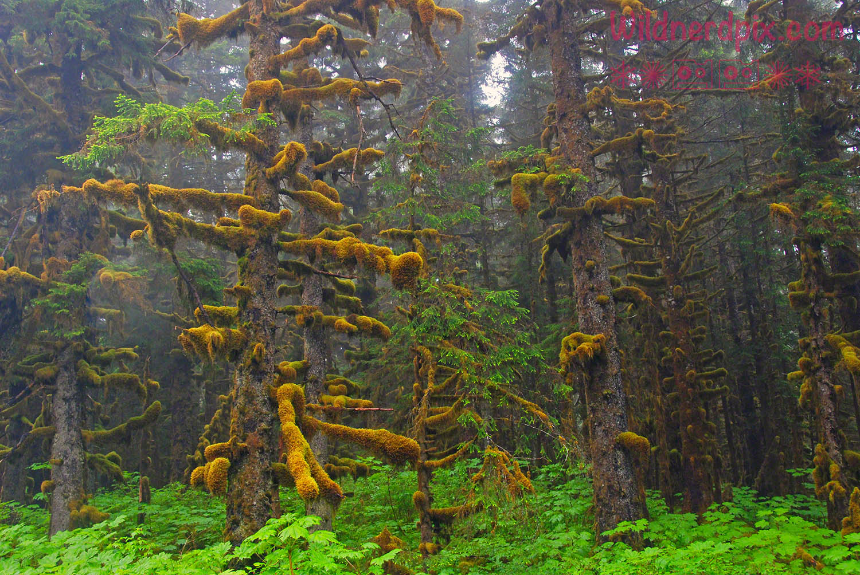 Sitka Spruce in the fog on Kodiak Island (AE2-001)