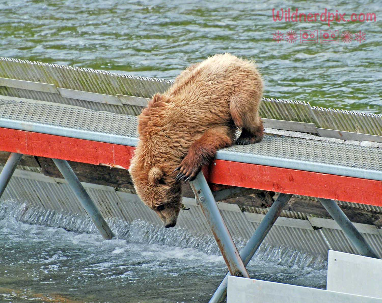 Kodiak Bear Trying to get fish from a weir on Kodiak Island (AE3-040)