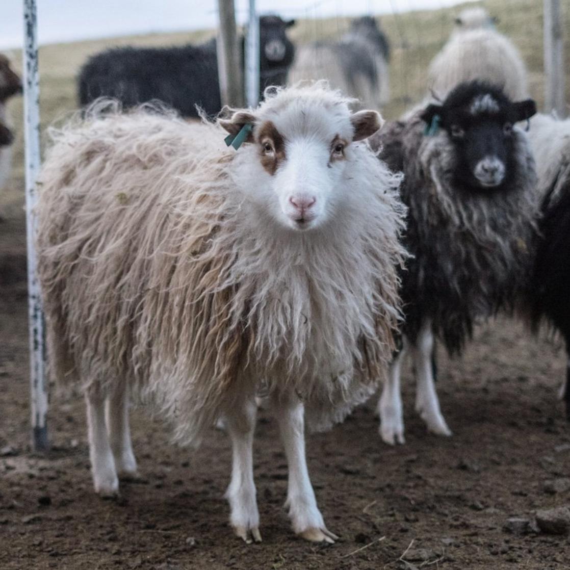 Faroese Sheep. Image ©Amber Corcoran