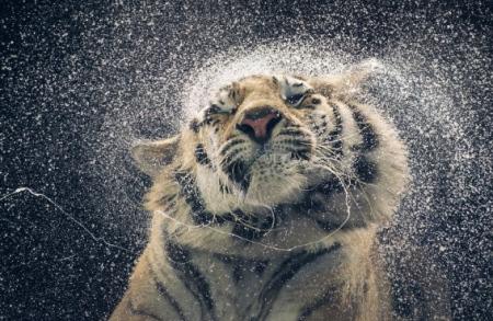 shaking tiger TRE.jpg