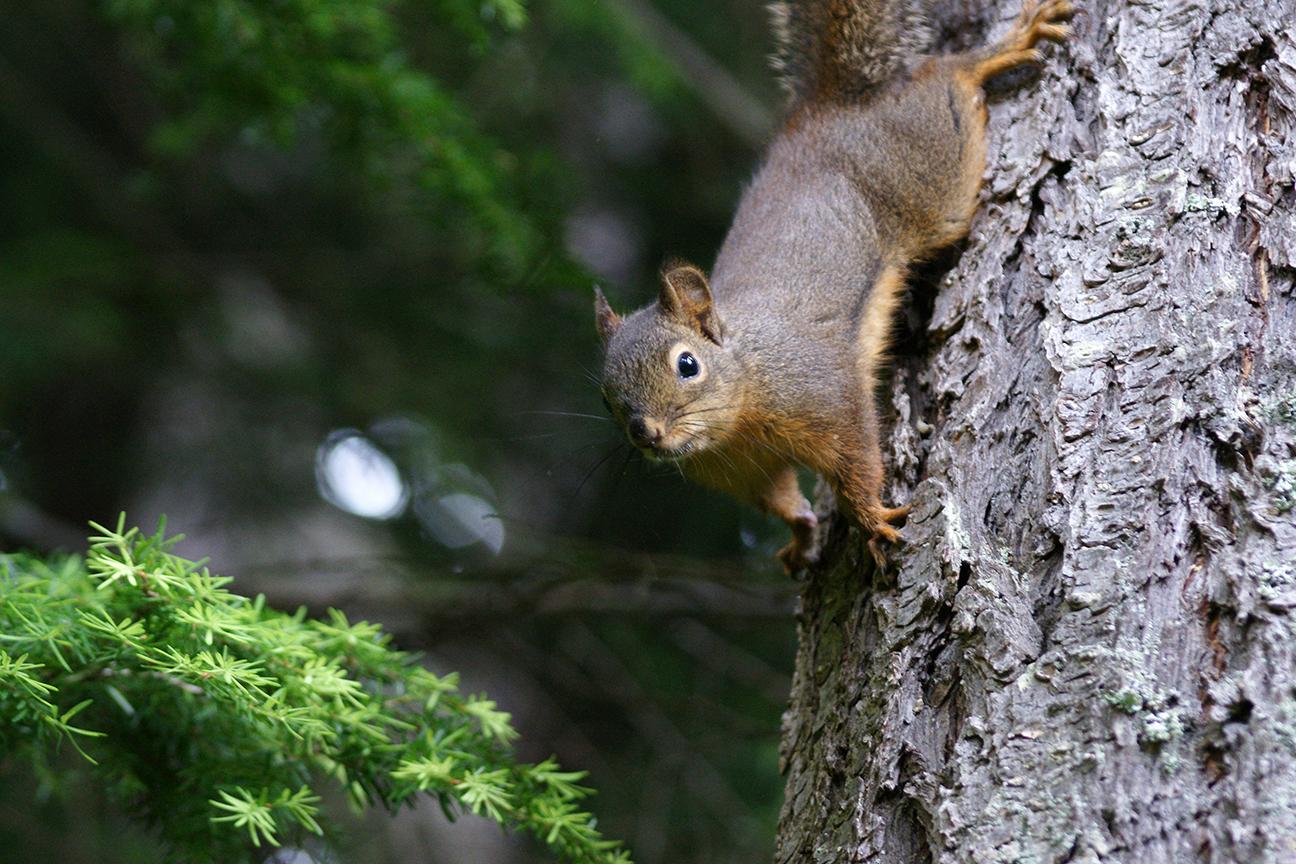 Douglas Squirrel.jpg