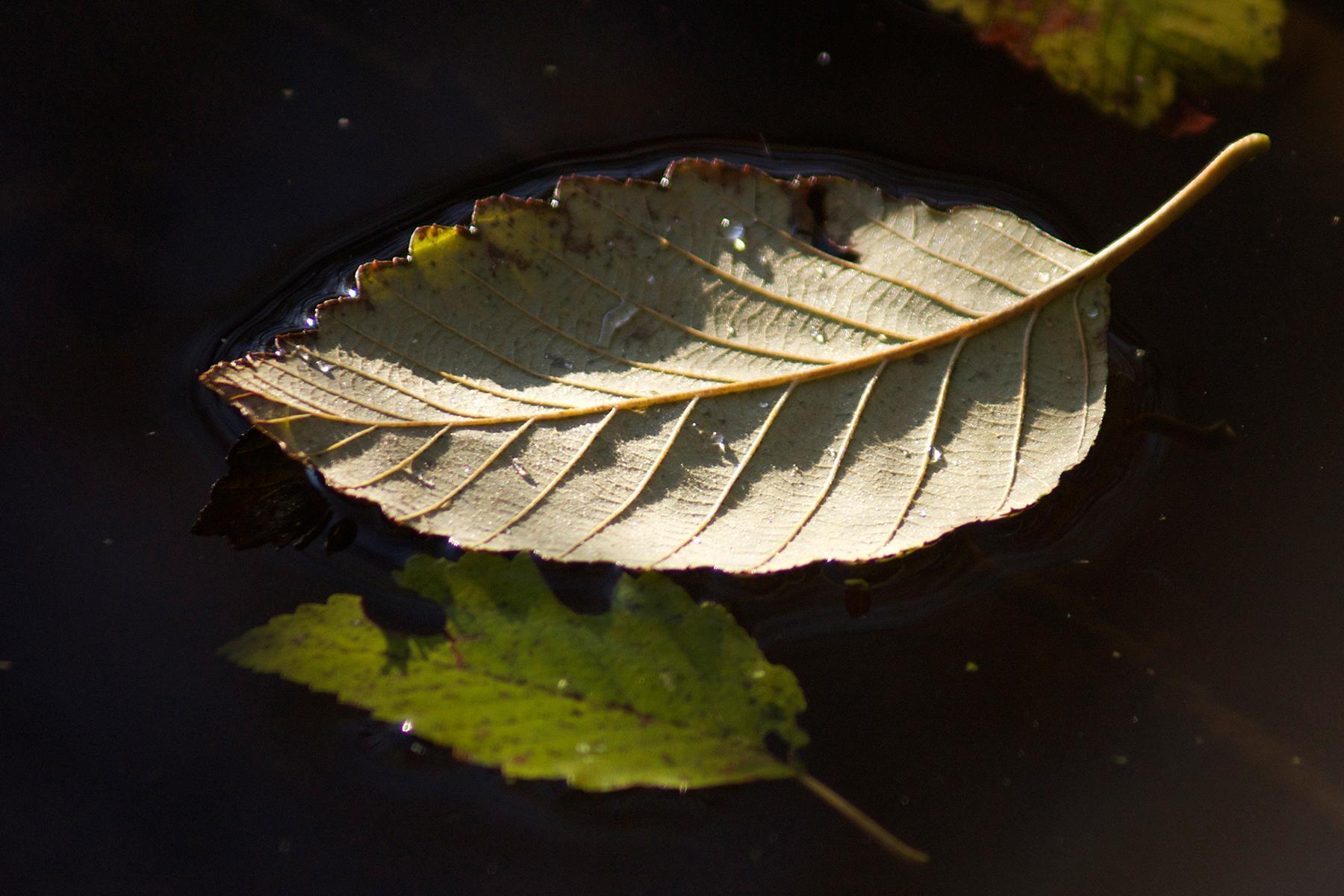 floating leafDSC00606.jpg