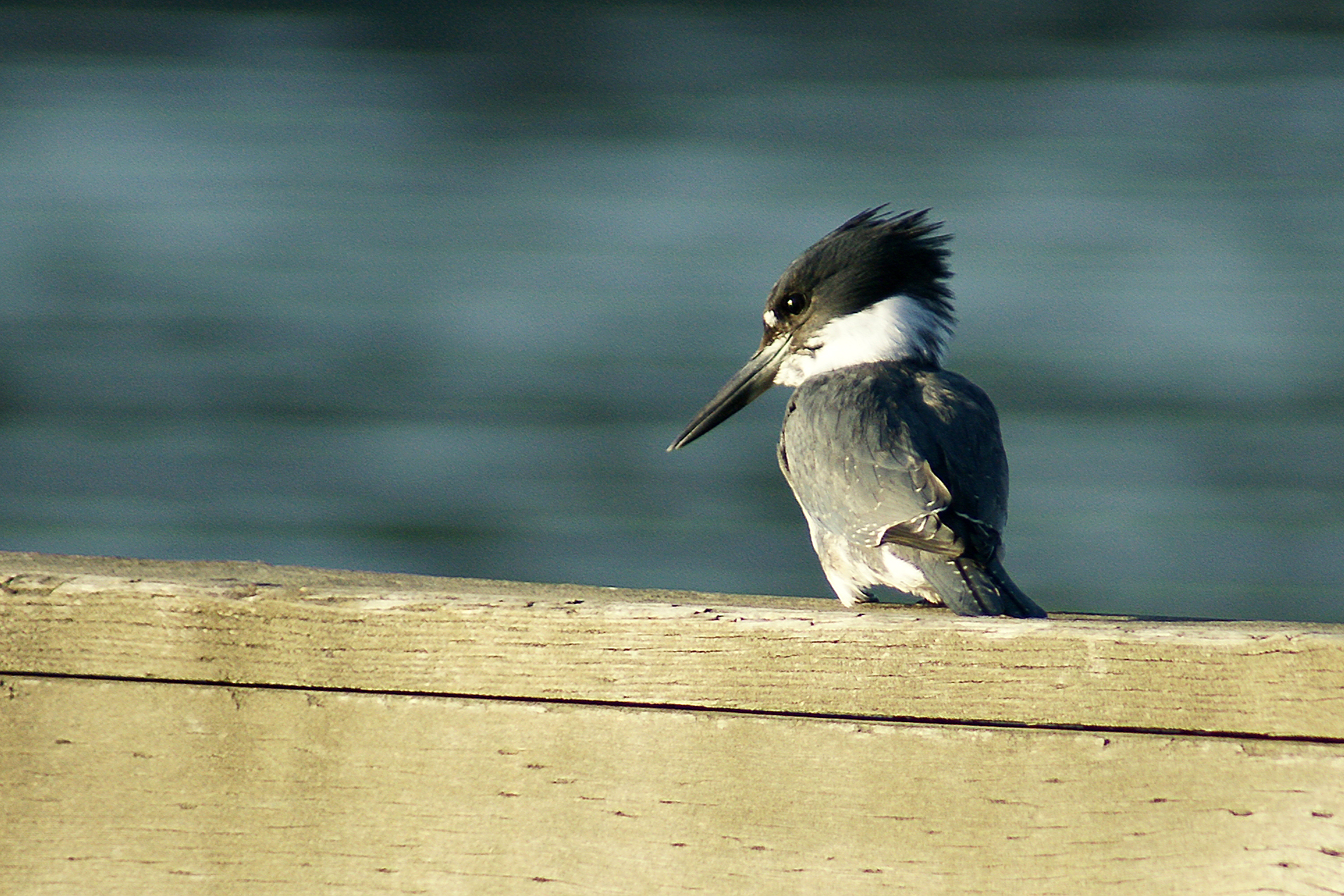 kingfisherDSC06843.jpg