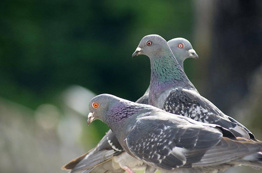 les muse des pigeons?.jpg