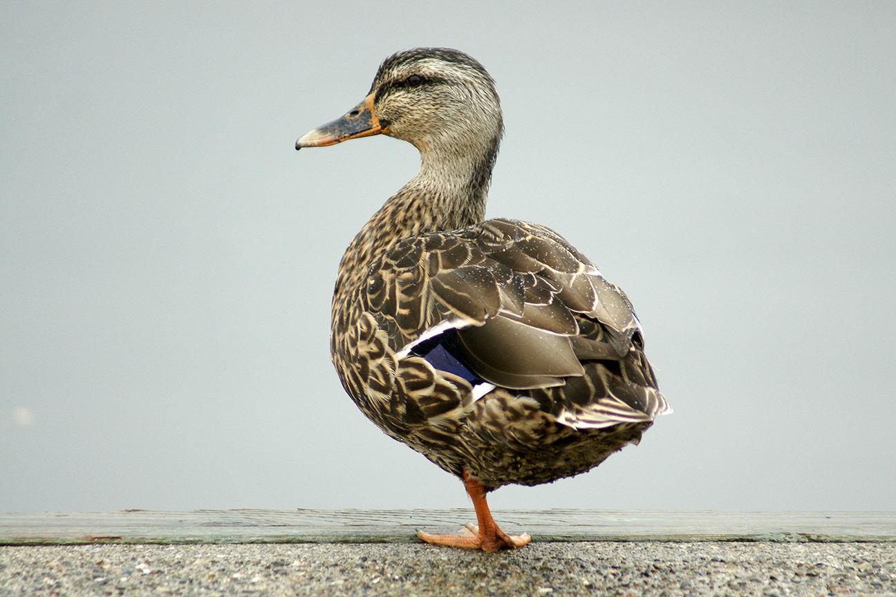 one legged duckDSC04002.JPG