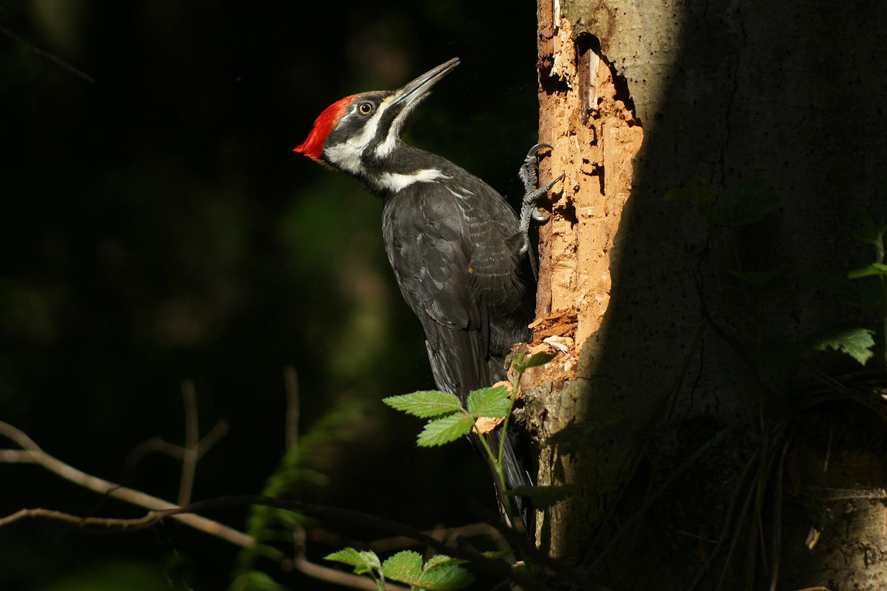 pileated woodpeckerDSC00661fp.jpg