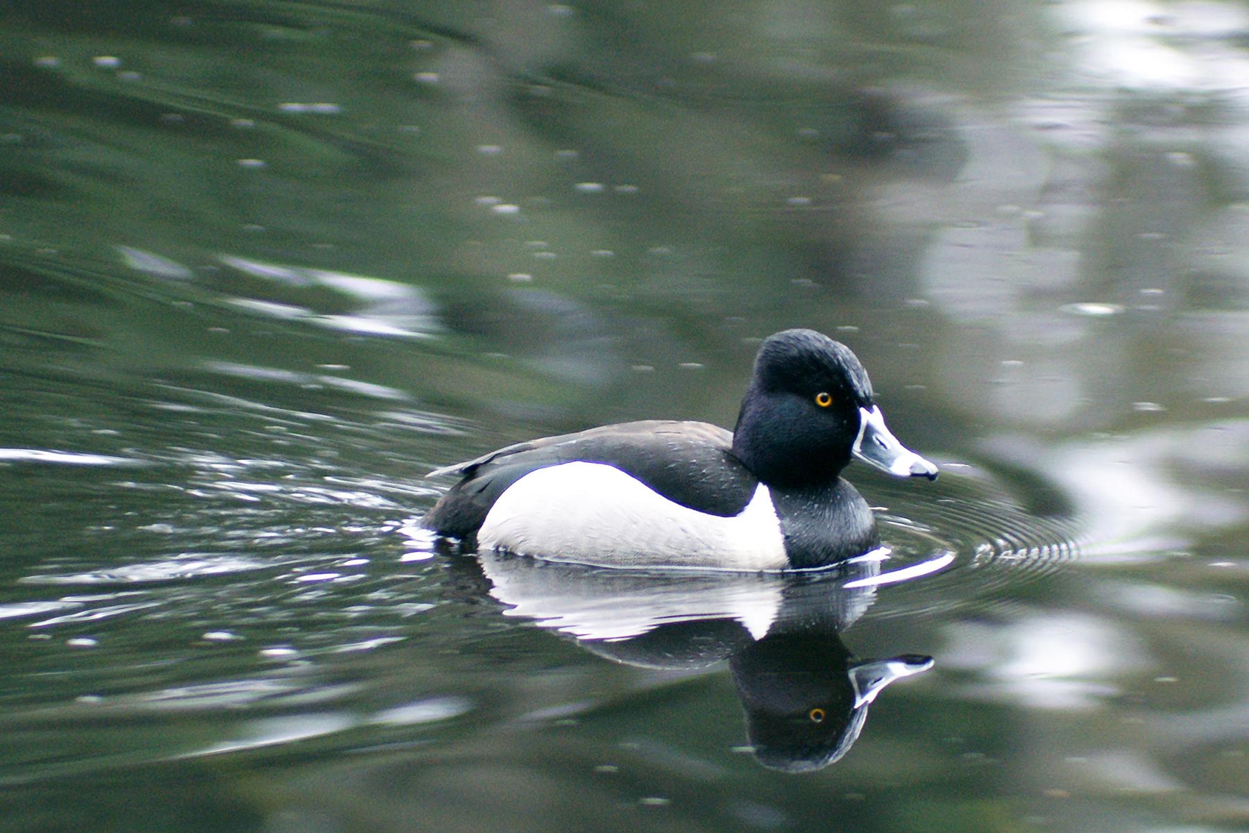 ring-necked duckDSC00141fp.jpg