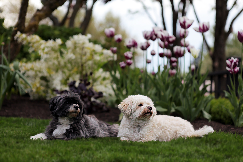 Vivienne & Chester enjoying a Spring day in the garden. Vivienne (black) is half Coton du Tulear & half Havanese. Chester (cream) is a full bred Havanese. They are half sister and brother and the love of my life...along with my hubby Fred...:-). ~Holly