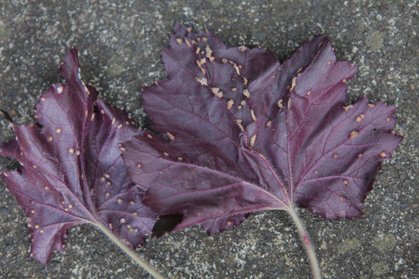 Underside of heuchera leaves infested with spider mites - creepy!