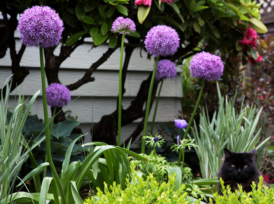 Gwendolyn amongst the Alliums.
