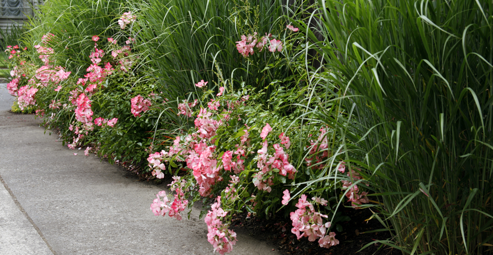 Light Pink/Coral Knock Out Roses & Panicum virgatum 'Heavy Metal'