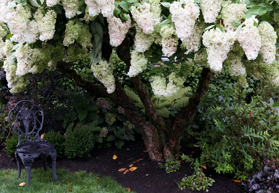 Hydrangea paniculata 'Grandiflora'    Pee Gee Hydrangea     Photo by Holly Stickley