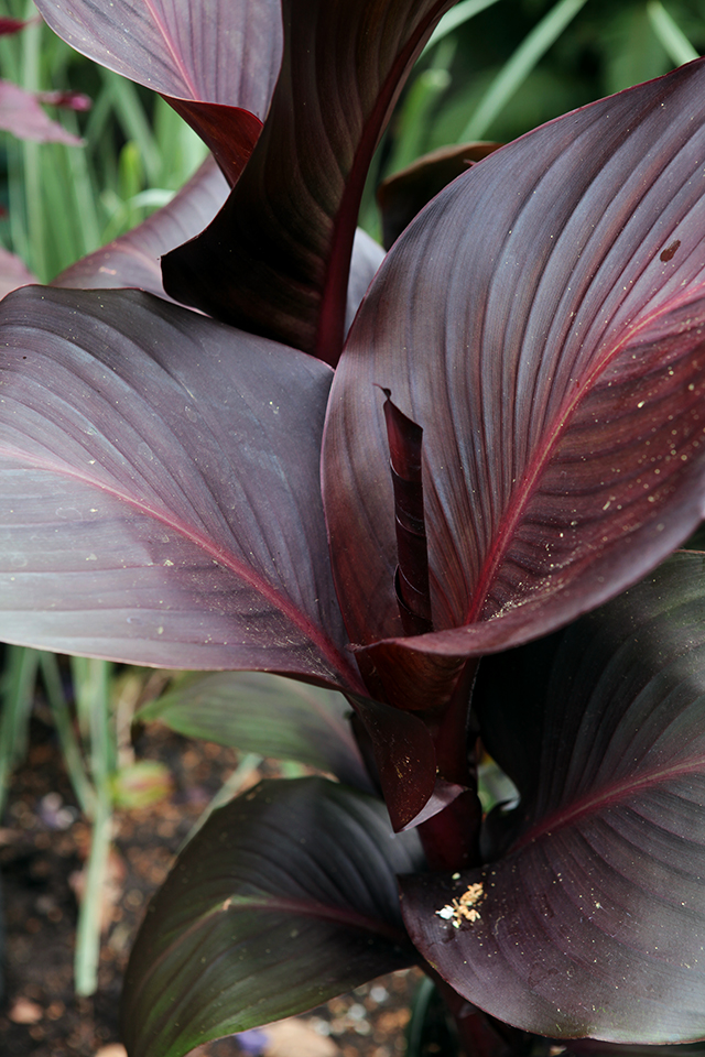 Canna Tropicana - Dramatic Deep Red/Black Foliage! Photo by Holly Stickley
