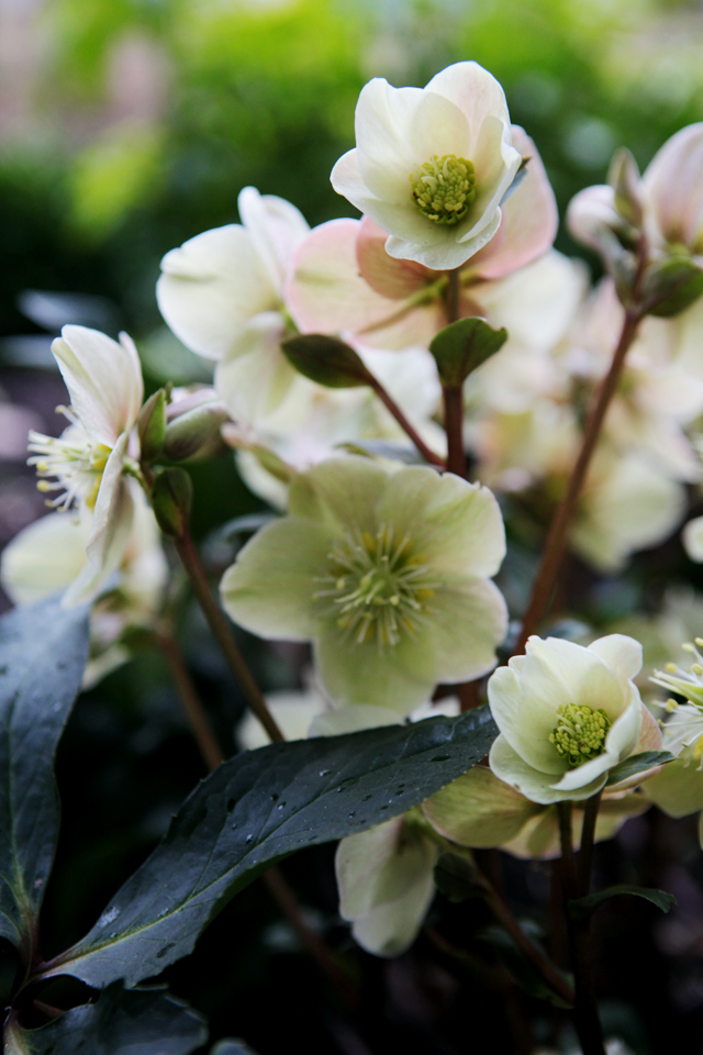 Helleborus x ballardiae 'Cinnamon Snow' One of the rarest of the Helleborus niger, derived from a cross of Helleborus niger and Helleborus lividus.  Early blooming  pink buds open to outward facing creamy white blooms, brushed with shades of rose and cinnamon.  Very dark green foliage, strong stems. Photo by Holly Stickley