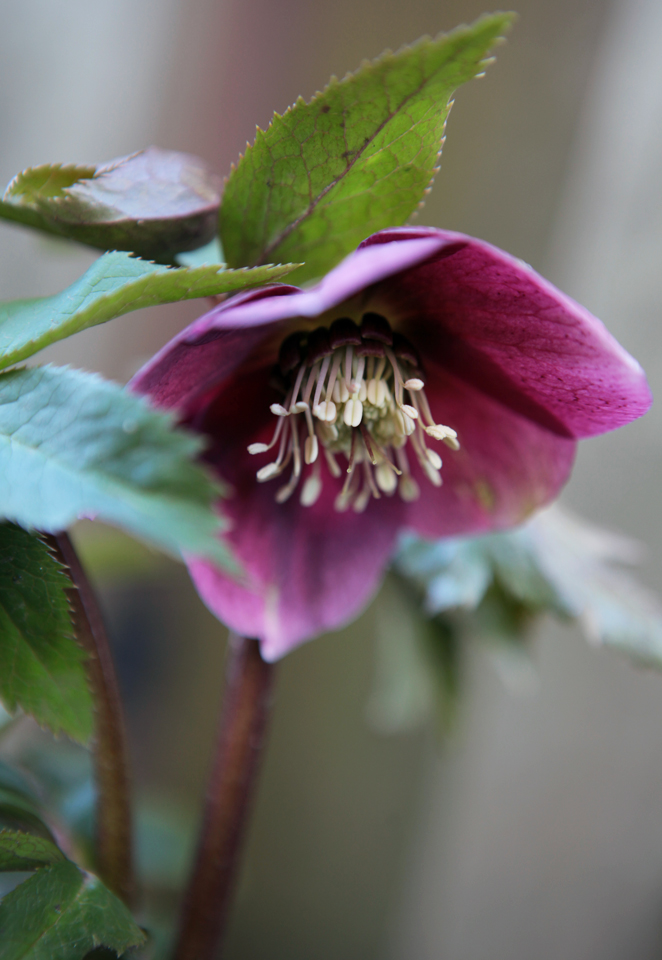 Helleborus orientalis, commonly called Lenten Rose Photo by Holly Stickley