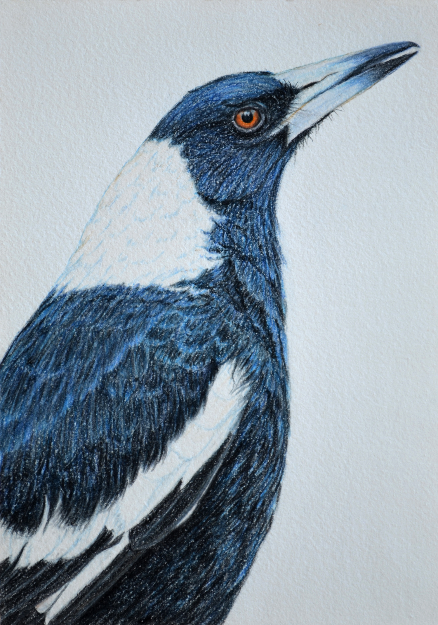 Australian Magpie  21 x 30 cm  Drawing, Carbothello pastel on handmade paper  $650 framed   click to view in Birdland series gallery 1
