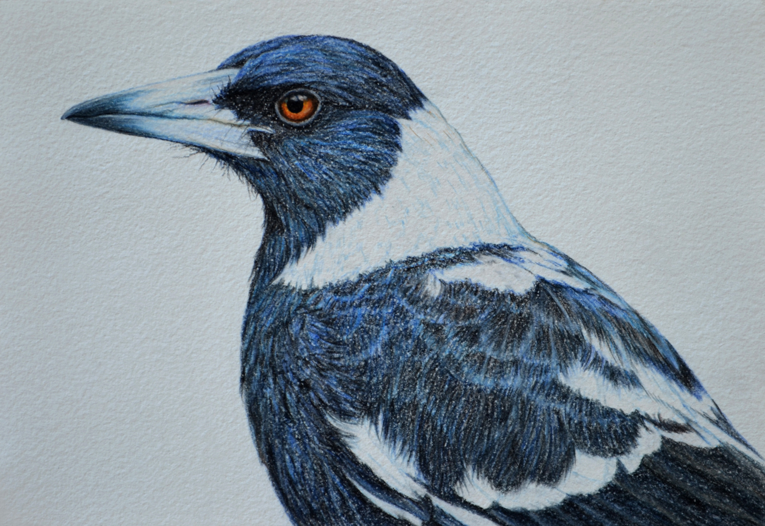 Australian Magpie II  21 x 30 cm    Drawing, Carbothello pastel on handmade paper  $650 framed   click to view in Birdland series gallery 1