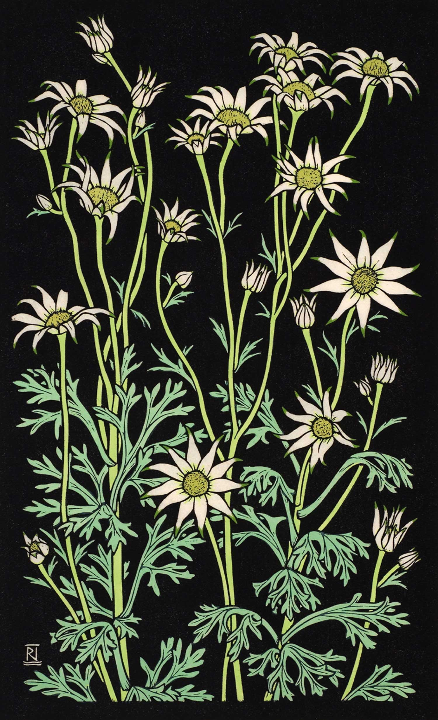 FLANNEL FLOWER III  49 X 30 CM EDITION OF 50  Hand coloured linocut on handmade Japanese paper  $1,050