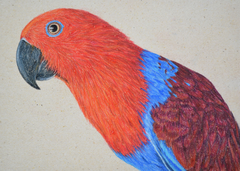 Female Eclectus Parrot 21 x 30 cm  Pastel on handmade paper  $800