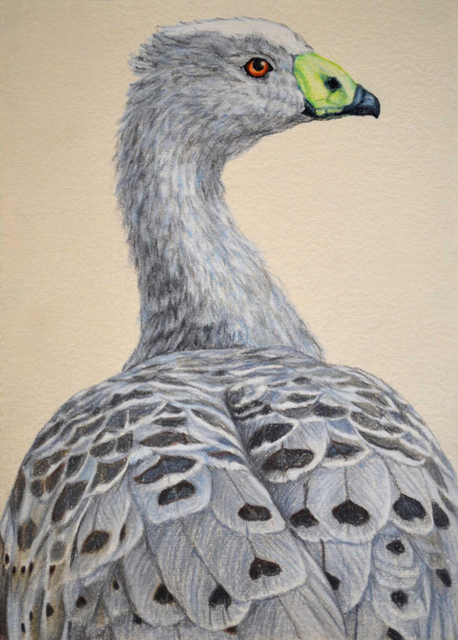 cape-barren-goose-2-drawing-rachel-newling.jpg