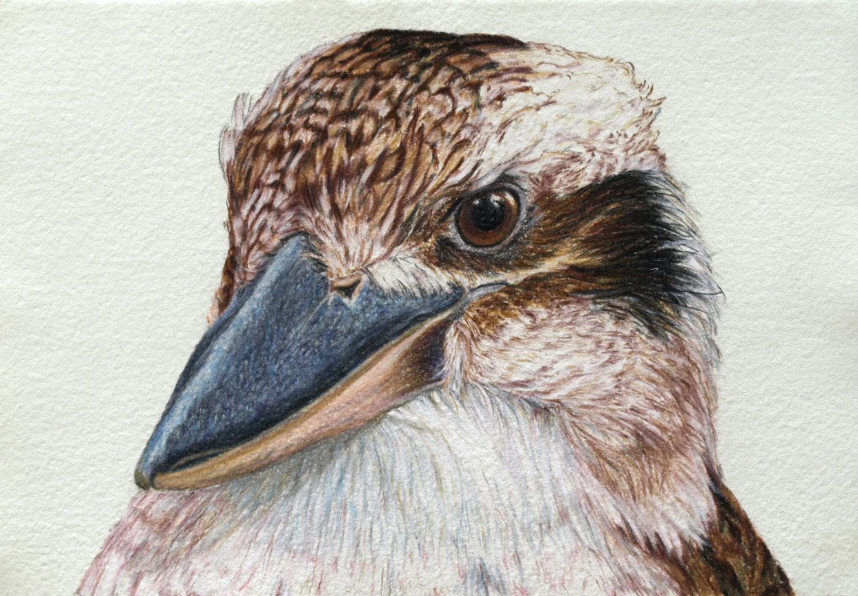 kookaburra-drawing-rachel-newling.jpg