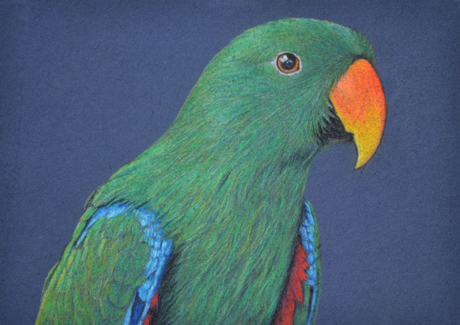 male-eclectus-parrot-drawing-rachel-newling.jpg