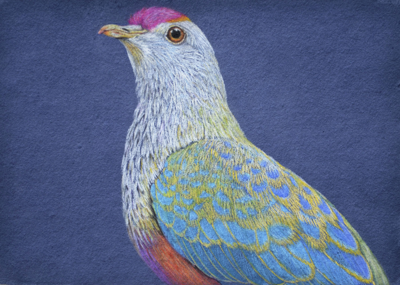 rose-crowned-fruit-dove-2-drawing-rachel-newling.jpg