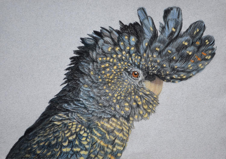 red-tailed-black-cockatoo-drawing-rachel-newling.jpg