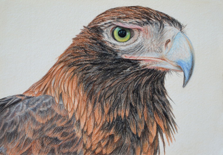 wedge-tailed-eagle-drawing-rachel-newling.jpg