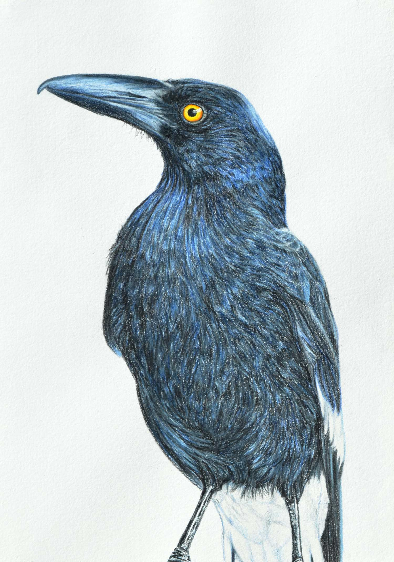 Currawong  41 x 31 CM, PASTEL ON HANDMADE PAPER  Available as a limited edition print  $750