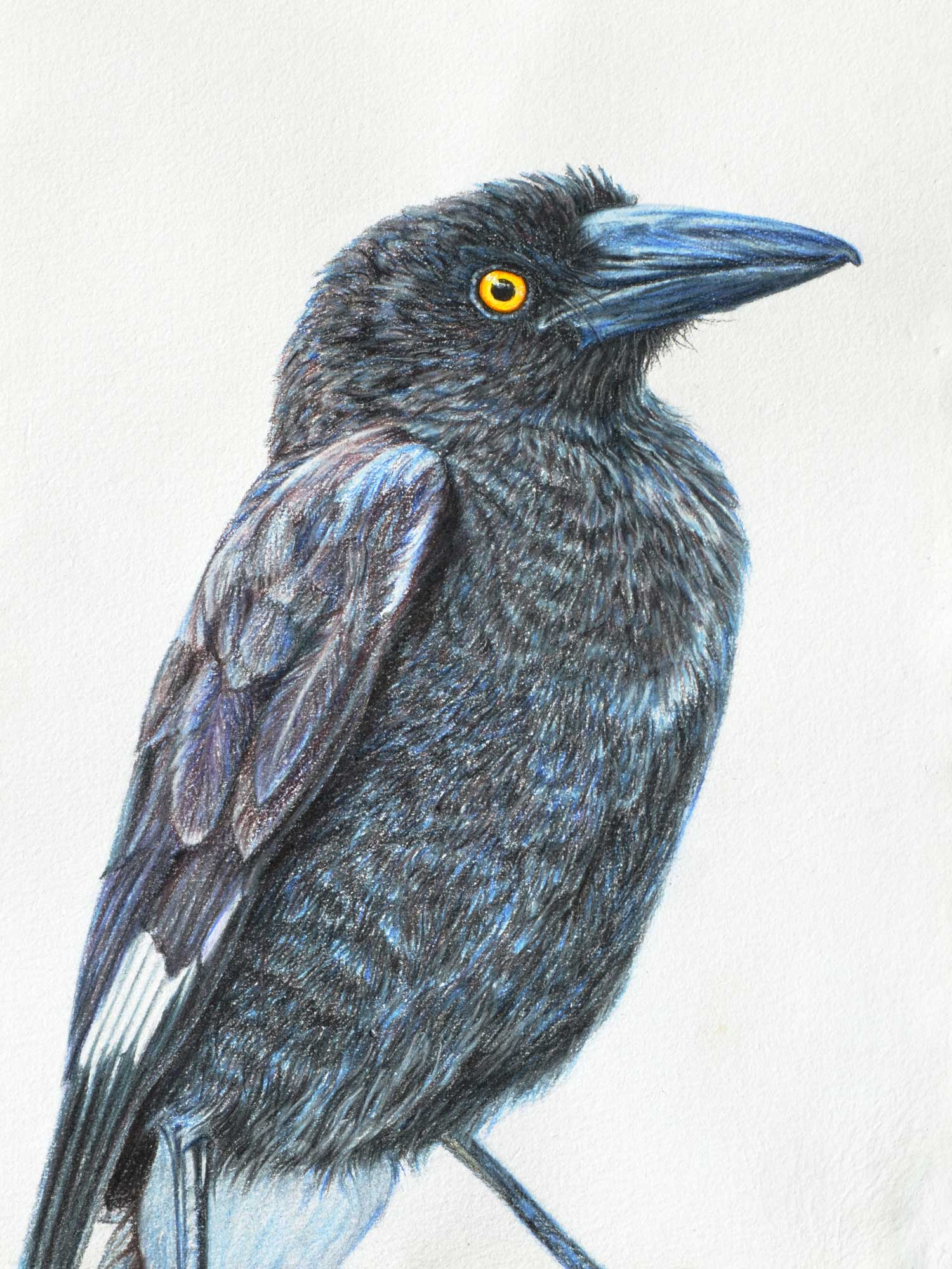 Young Currawong  41 x 31 CM, PASTEL ON HANDMADE PAPER  Available as a limited edition print  $750