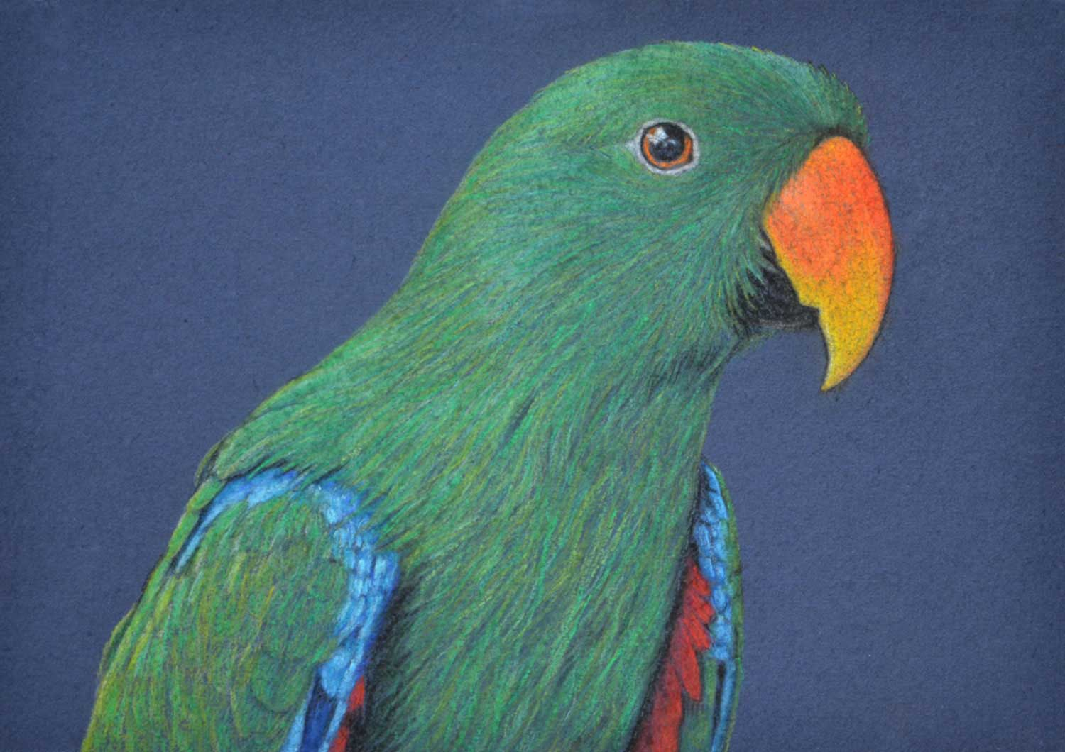 Eclectus Parrot male 21 x 30 cm  Pastel on handmade paper  sold
