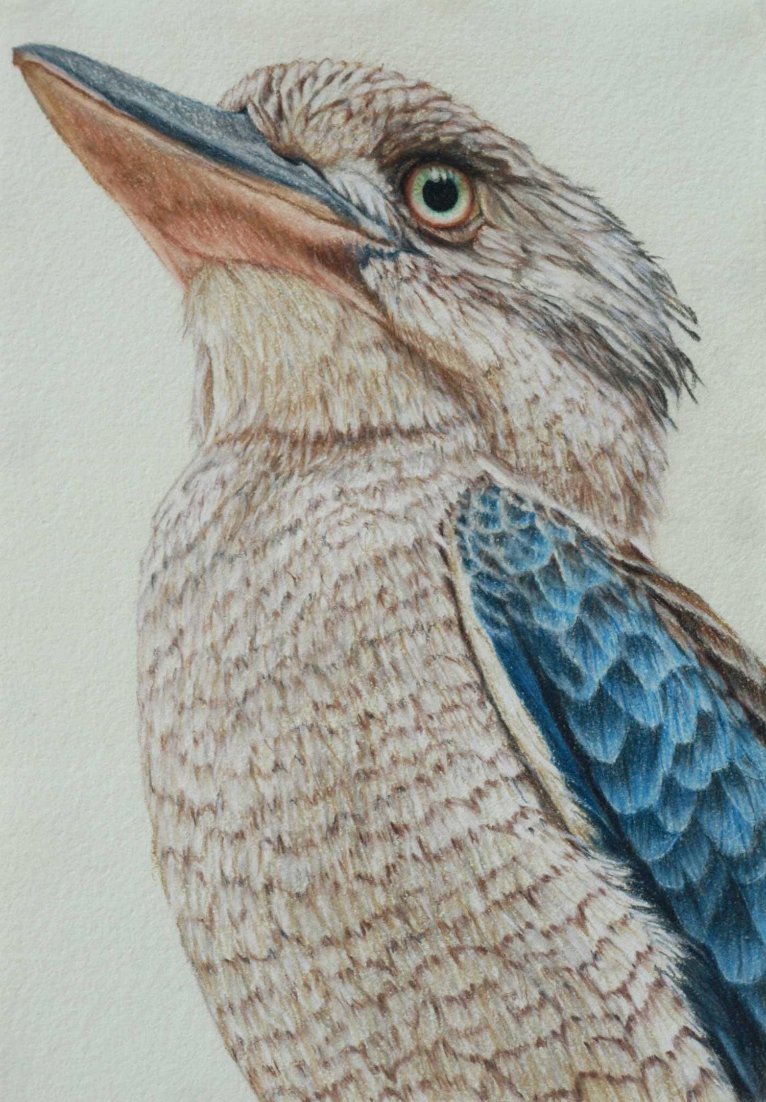 Blue winged kookaburra II 30 x 21 cm  Pastel on handmade paper  sold