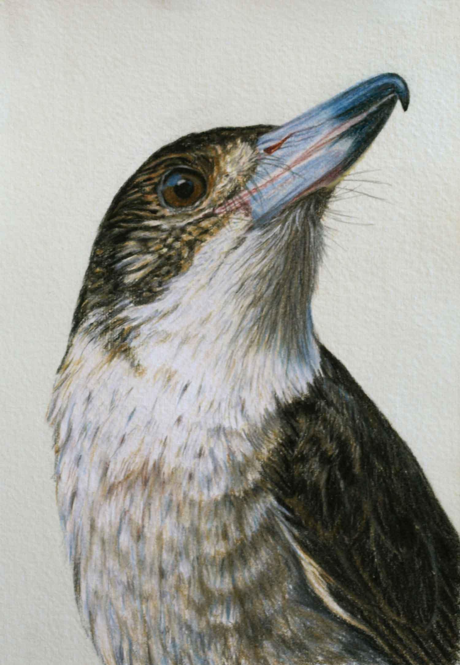 Butcher Bird II 30 x 21 cm  Pastel on handmade paper  SOLD