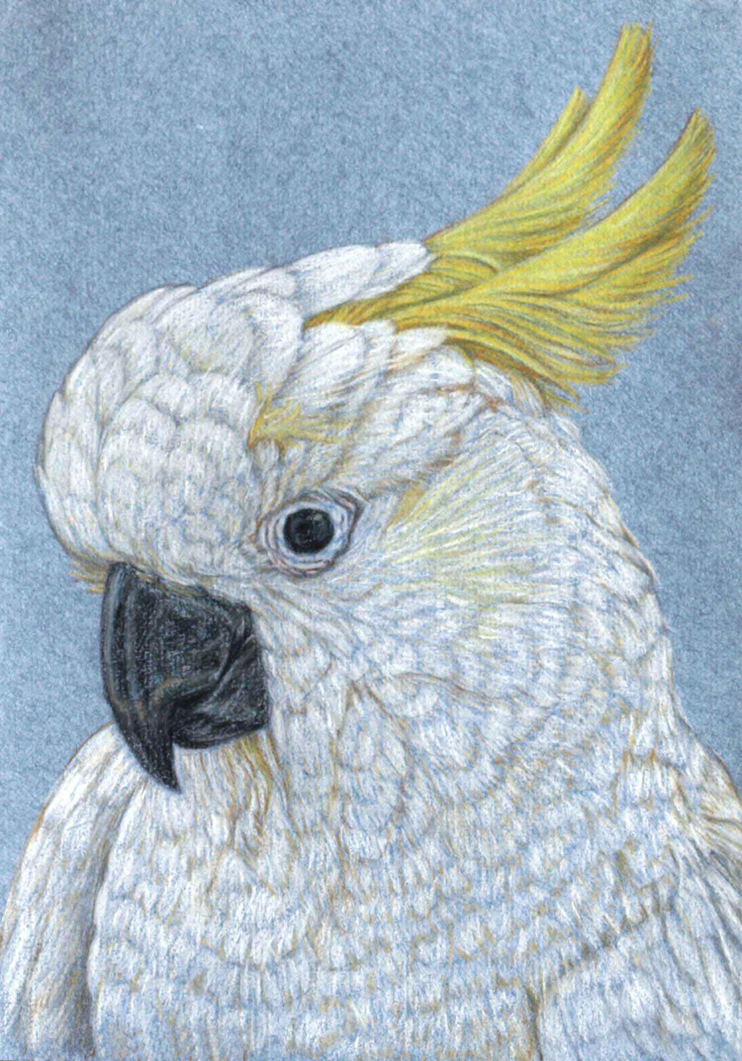 Sulphur Crested Cockatoo II 30 x 21 cm  Pastel on handmade paper  SOLD