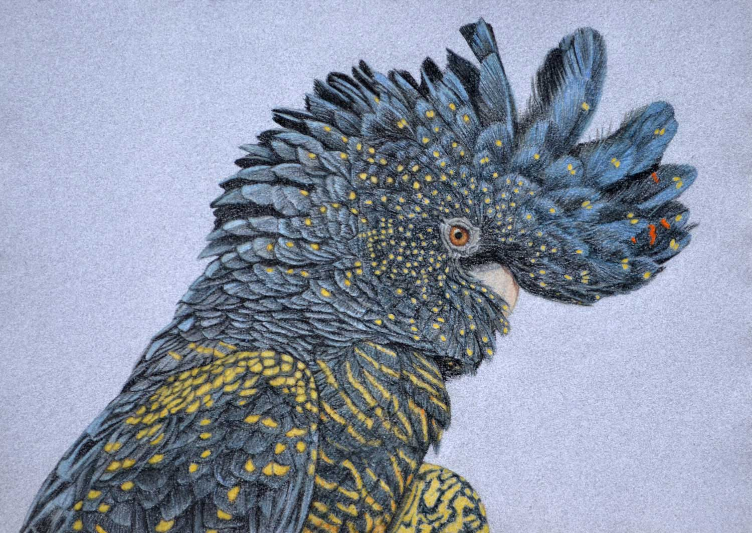 Red Tailed Black Cockatoo II 36 x 50 cm  Pastel on handmade paper  SOLD