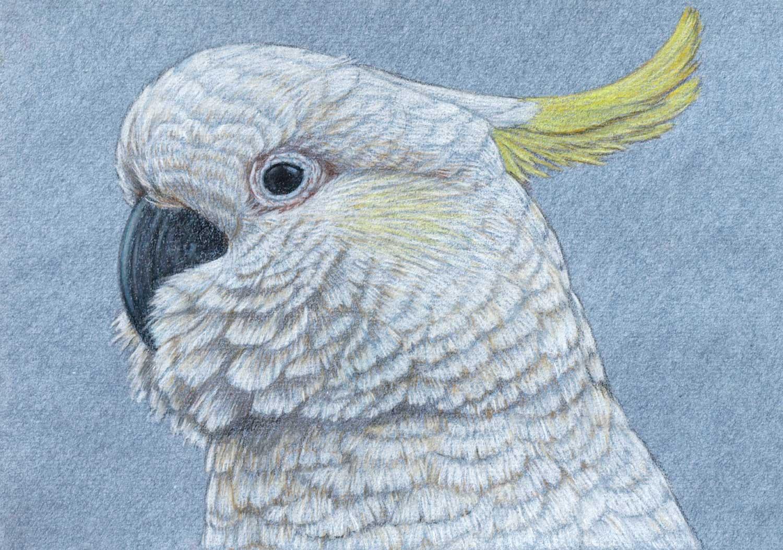 Sulphur Crested Cockatoo 21 x 30 cm  Pastel on handmade paper  SOLD